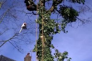 Snoeien van boom op de Antonlaan